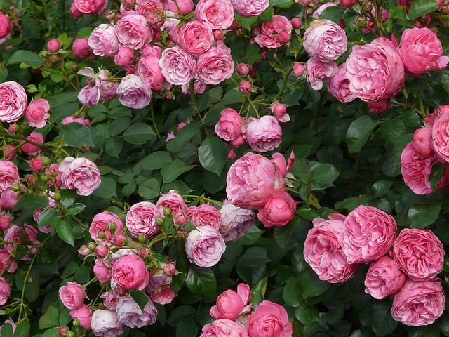růžový okolík